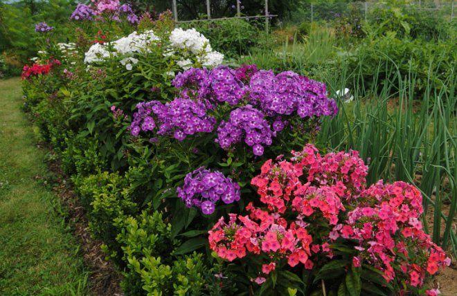 Как ухаживать за растениями Флокс